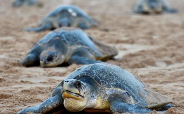 Oeufs-rêka ! En Inde, la vulnérable reproduction de tortues menacées