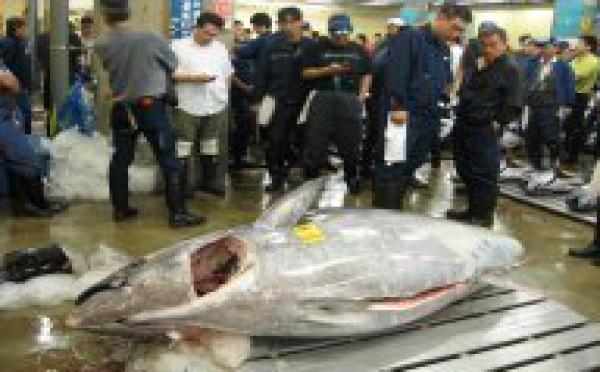 Vente à Tokyo du plus gros thon pêché au Japon depuis un quart de siècle