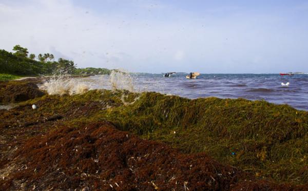 """Sargasses aux Antilles: """"une calamité dont nous n'avons probablement pas pris toute la mesure"""", reconnaît Hulot"""