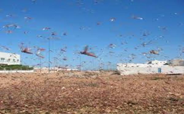 Australie: Les inondations découvrent d'énormes nids de sauterelles