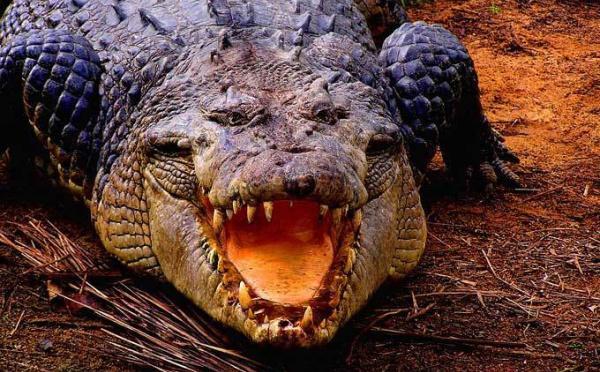 DARWIN: Un crocodile  s'en prend à une pirogue au Nord de l'Australie