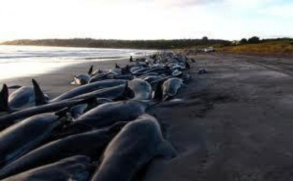 Nouvel échouage massif de globicéphales à l'extrême Nord de la Nouvelle-Zélande
