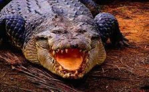 Nombre record de prises de crocodiles dans le Nord de l'Australie