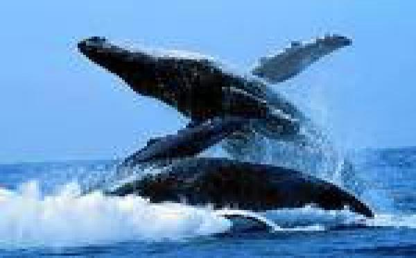 Les baleines ont leur « playlist » chaque saison