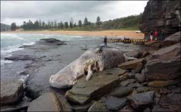 Australie: le cadavre d'un cachalot échoué embarrasse les autorités
