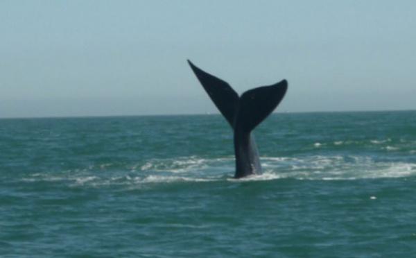 Australie: deux blessés dans une collision entre une baleine et un bateau