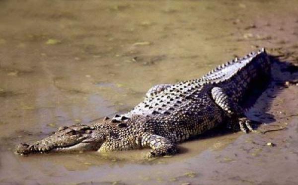 Nouvelle attaque de crocodile aux îles Salomon