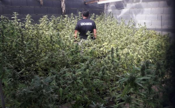 1 421 plants de cannabis et un bar clandestin découverts cette semaine