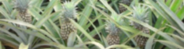 L'importation de concentré d'ananas autorisée au fenua