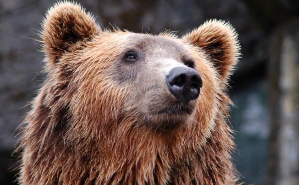 Espagne: un ours tueur de chevaux risque d'être retiré des Pyrénées