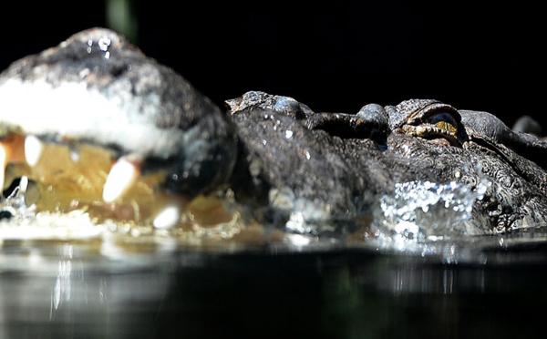 Australie: attaqué par un crocodile, il survit en lui mettant le doigt dans l'oeil