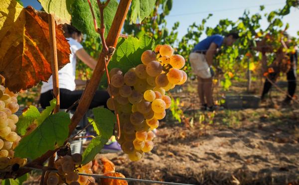 Castex débloque près de 80 millions supplémentaires pour les viticulteurs