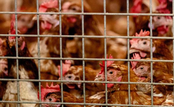 Un premier cas de grippe aviaire détecté en France