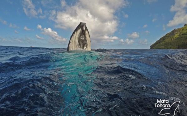 Premières baleines observées à Rurutu