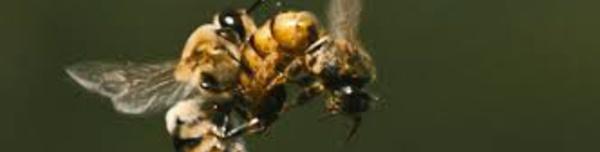 Les pesticides néonicotinoïdes altèrent le sperme des abeilles mâles