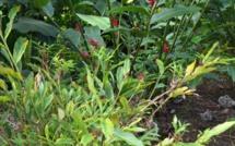 Le Banana Bunchy Top Virus : Les plantes locales en danger