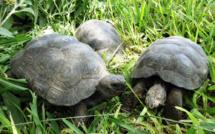 Pérou : 29 tortues des Galapagos saisies à des trafiquants