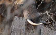 Washington réautorise l'importation de trophées d'éléphants