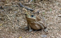 Australie: alerte au crapaud-buffle dans le sud