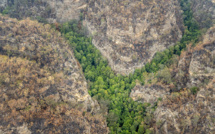 Australie: mission secrète pour sauver des arbres préhistoriques