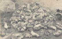 19 janvier 1900, la mort noire frappe Sydney