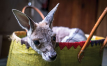 Australie: deux adolescents inculpés pour la mort de 14 kangourous