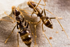 La fourmi folle noire (Paratrechina longicornis (Latreille)).