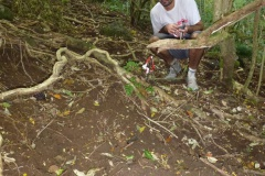 Ravahere Taputuarai constate les dégâts causés par les cochons sauvages sur le sol. Crédit : JYM.