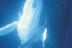 Baleines & dauphins de Polynésie, Alexandre Gannier, éditions Au vent des îles.