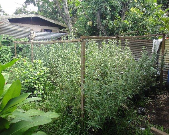 1440 pieds de cannabis saisis la presqu 39 le for Plantation de cannabis en exterieur