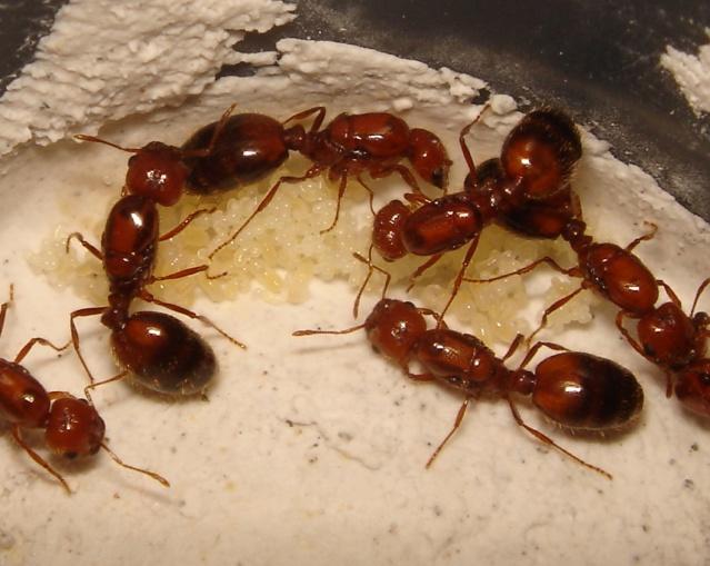 La fourmi de feu (Solenopsis geminata (Fabricius)).